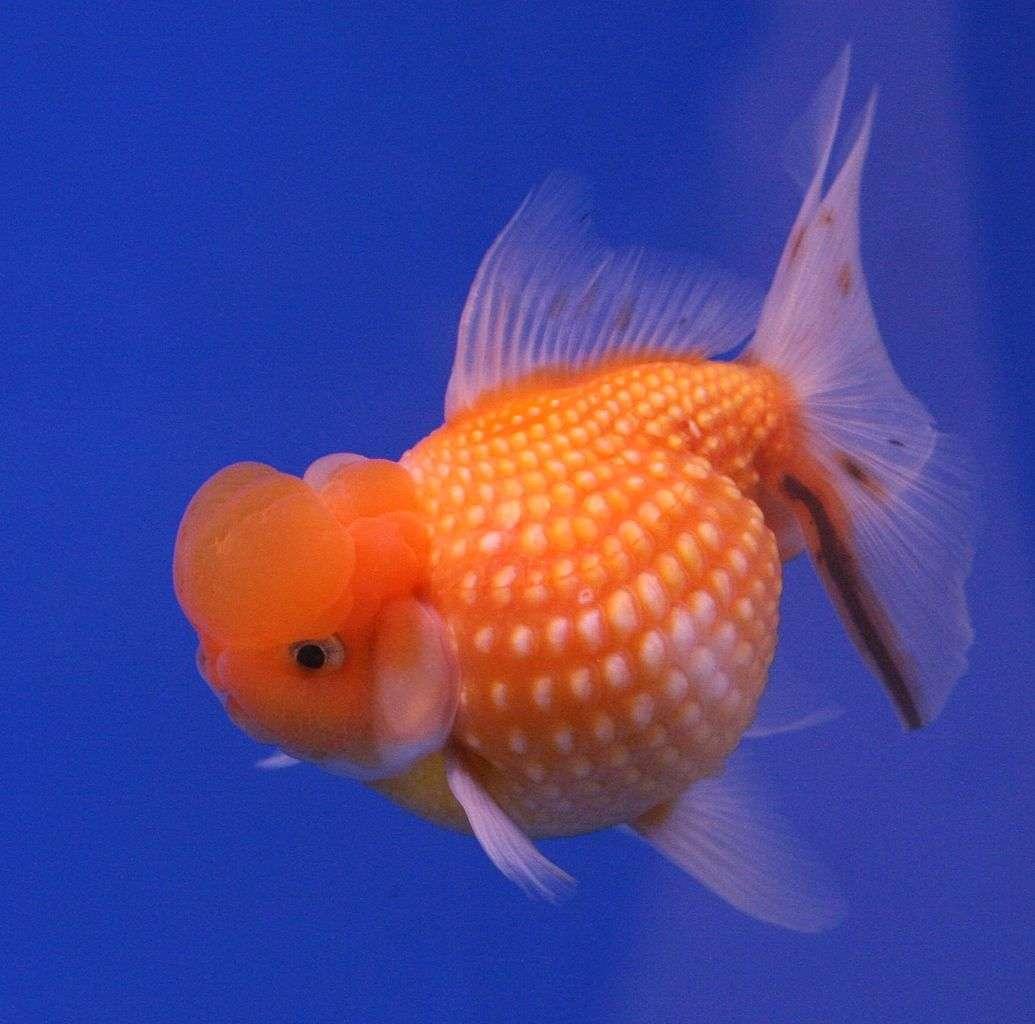 Le poisson rouge est originaire des eaux douces de Chine. Aujourd'hui il est le principal poisson de compagnie et une étonnante variété de poissons rouges a vu le jour, au gré des croisements génétiques et des sélections, comme ici le poisson rouge perlé. © Lerdsuwa, Wikipédia, GNU 1.2