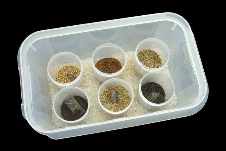 Avant d'être stockées puis plantées, les graines doivent être séchées. © The Great Plant Hunt CC by-nc-sa