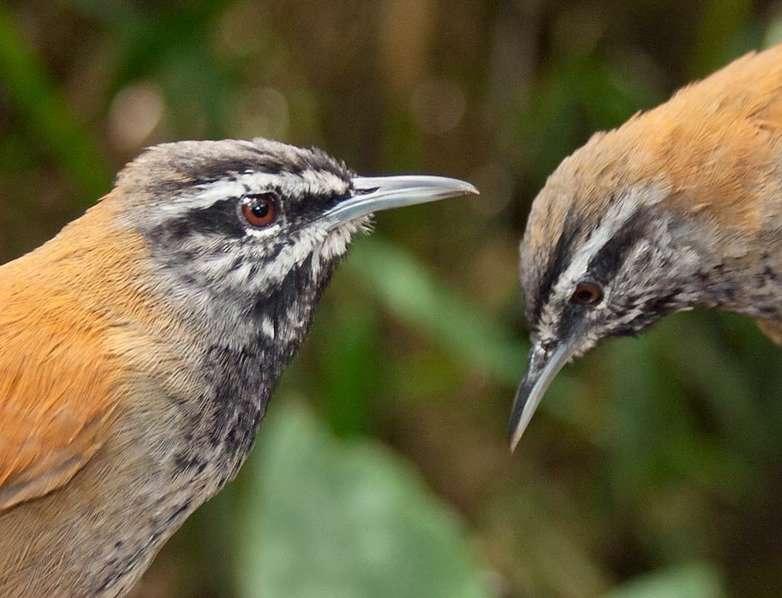 Les troglodytes chantent en couple de façon si bien synchronisée qu'on a l'impression qu'il n'y a qu'un seul oiseau © Carlos Rodriguez