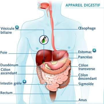Appareil digestif, crédits DR.
