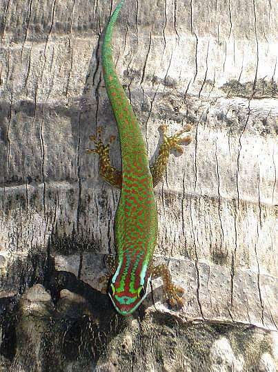 Gecko vert de Manapany. Crédit photo : Mickaël Sanchez / Nature Océan Indien