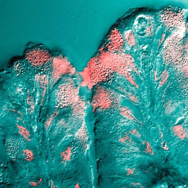 Des cellules de certains organes, comme ici l'estomac, sont chargées de produire du mucus (en rose). Les mucines qui le composent auraient de nombreuses propriétés antimicrobiennes. L'équipe du MIT à l'origine de cette découverte avait déjà révélé que ces glycoprotéines empêchaient les virus de pénétrer les cellules. Les chercheurs veulent désormais étudier ses effets face aux champignons unicellulaires. © Jason Underwood, Plos One, cc by 2.5