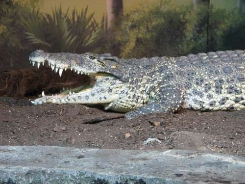 Photo d'un crocodile de Cuba. © Ltshears, domaine public