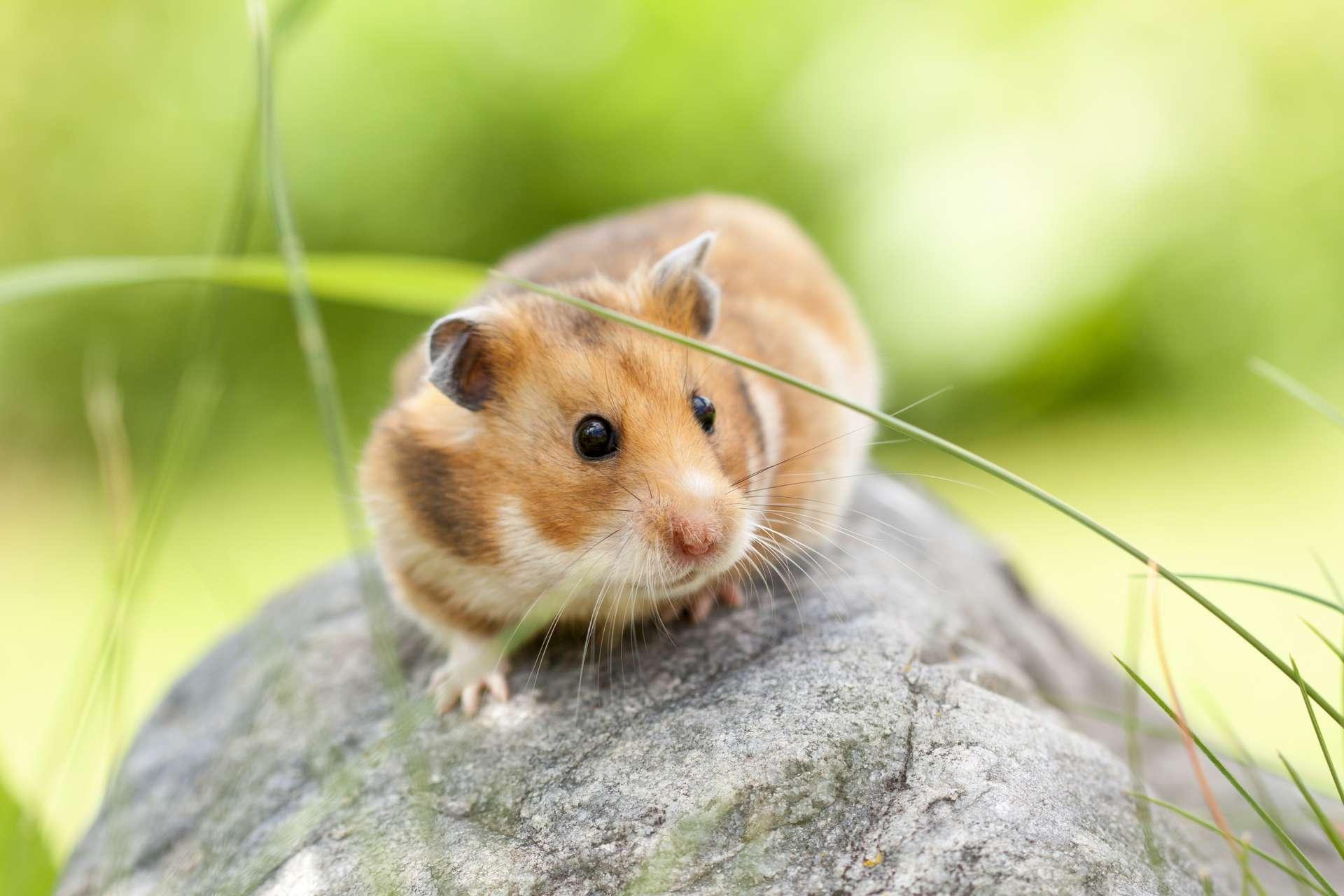 Le hamster est un petit rongeur de la famille des Cricetinae. Il en existe plusieurs espèces, dont certaines sont utilisées comme animaux de compagnie ou pour l'expérimentation animale. © Asolo79, Adobe Stock
