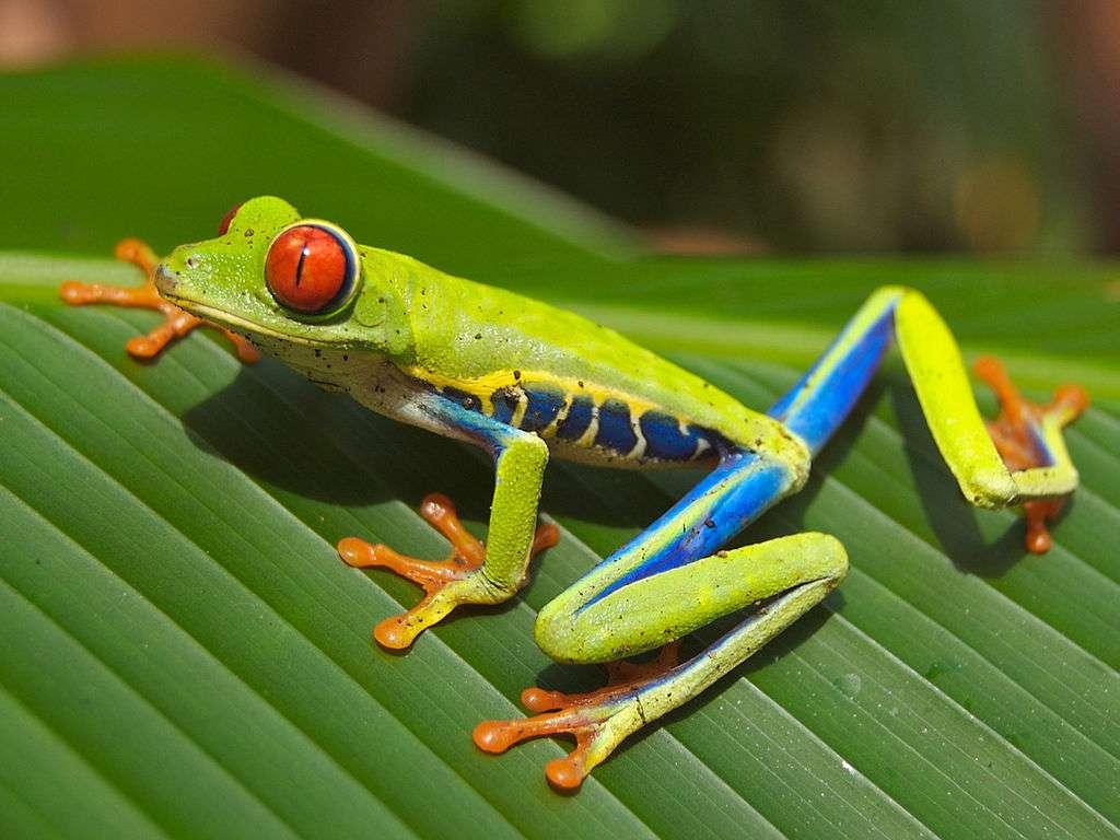 Les amphibiens comptent environ 7.000 espèces découvertes, parmi lesquelles la grande majorité se trouve être des grenouilles. © Carey James Balboa, Wikipédia, DP