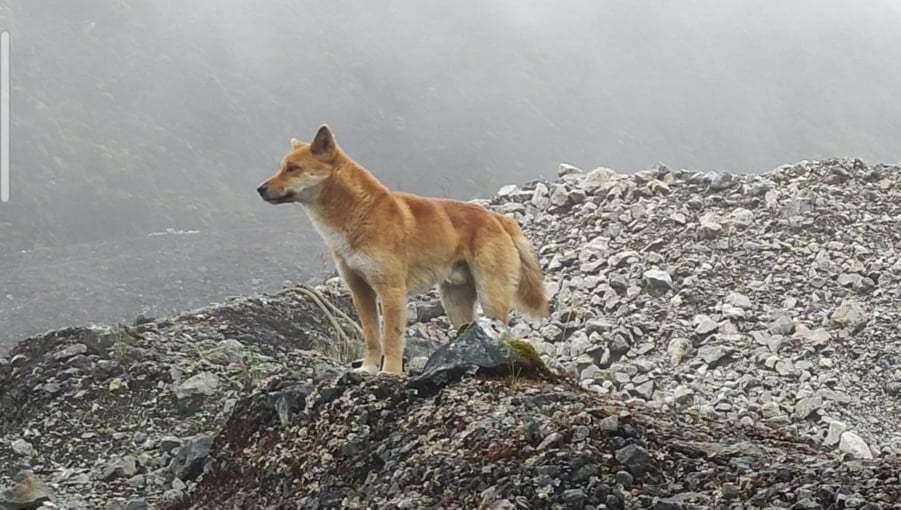 Voici un chien sauvage des Highlands en Indonésie. © New Guinea Highland Wild Dog Foundation