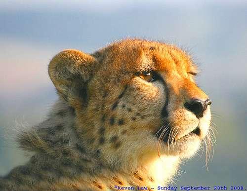 Le guépard Cheetah, un super-prédateur en... Angleterre ! © Law Keven CC by-sa