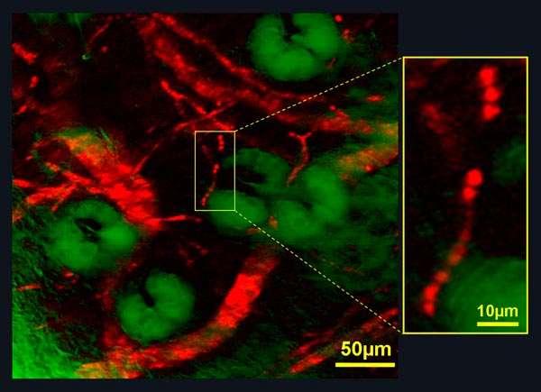Obtenue par microscopie par émission stimulée, cette image montre les vaisseaux sanguins (en rouge) parcourant une oreille de souris. Les grosses taches vertes sont des glandes sébacées. Les globules rouges portant les molécules d'hémoglobine se comportant comme des minis lasers sont bien visibles à droite. Crédit : W Min/S Lu/Harvard University