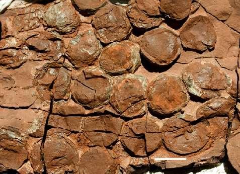 Jusqu'à 34 œufs ont été retrouvés au sein d'une même portée de Massospondylus (barre d'échelle : 5 cm). © Reisz et al. 2012, Pnas