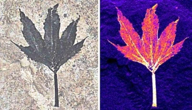 Le fossile d'une feuille observé dans le visible, à gauche, apparaît différent dans le domaine des rayons X. L'image de droite, en fausses couleurs et obtenue par spectrométrie de fluorescence X, montre la présence d'atomes de cuivre. Les chercheurs pensent que ce métal a agi comme un bactéricide et a donc permis une excellente fossilisation de cette feuille âgée de 50 millions d'années et large d'environ 2 cm. © Diamond Light Source, 2014