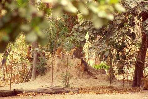 © IRD - Galat-Luong, Anh Colobe bai d'Afrique occidentale (Procolobus badius temmincki) au sol (à droite), jouant en association avec des singes rouges patas (Erythrocebus patas). Forêt de Fathala, Parc national et Réserve Mab
