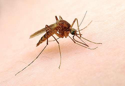Les moustiques survivent aux gouttes d'eau. Pas si surprenant de la part d'un animal dont la larve est aquatique ! © StoneHorse Studios, Flickr, cc by nc sa 2.0