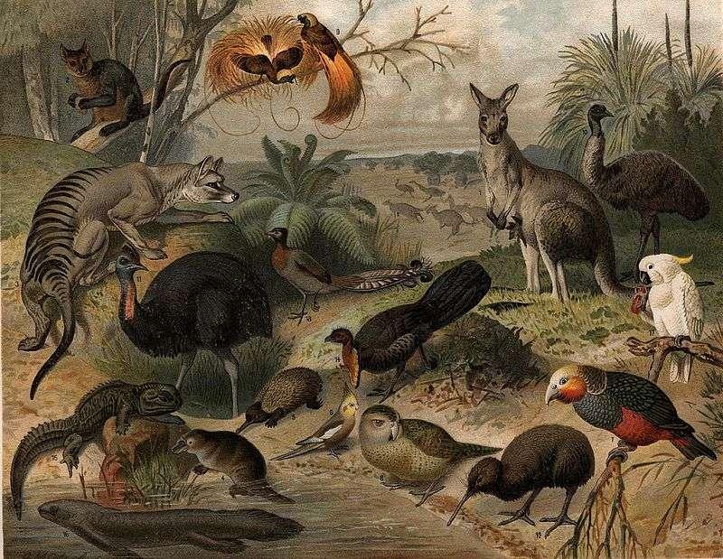 La faune australienne est composée de diverses espèces de mammifères, d'oiseaux et de reptiles. © Nordisk familjebok, Wikipédia, DP
