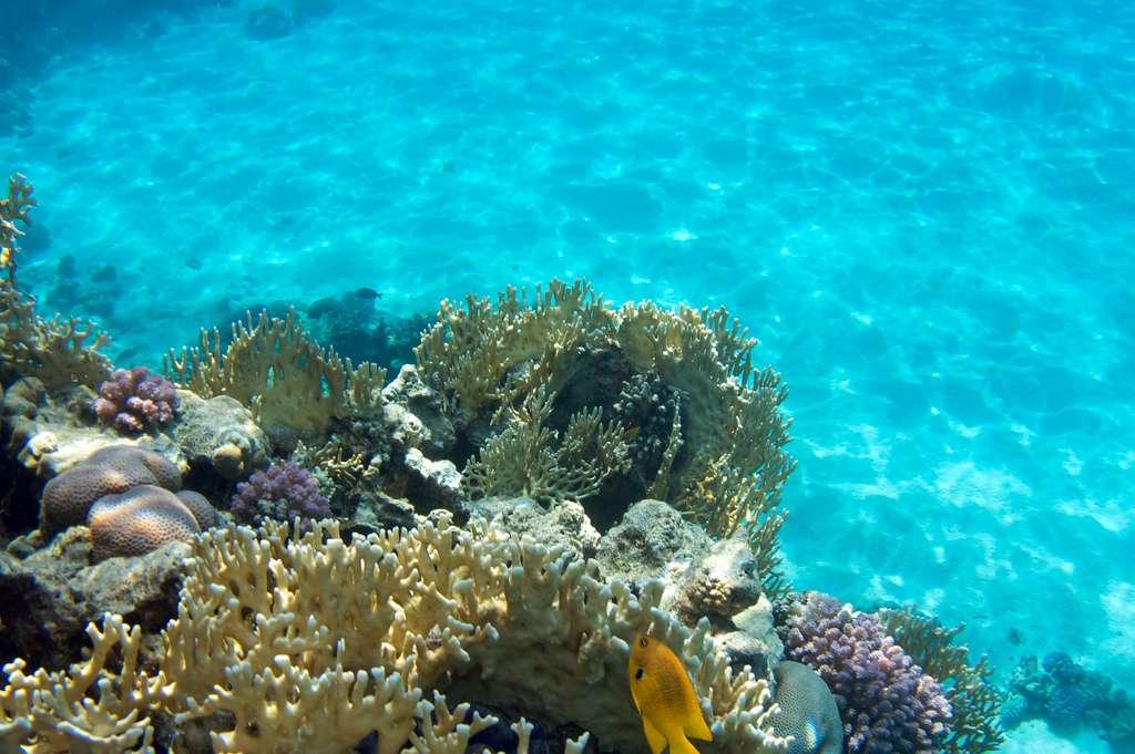Les quatre plus grands récifs coralliens du monde sont situés en Australie, en Nouvelle-Calédonie, au Belize et en Floride (parc national de Dry Tortugas). Les coraux, ces animaux de la branche des Cnidaires, sont essentiellement constitués de calcite, les rendant vulnérables à l'acidification des océans. © kjbstar, Flickr, cc by-nc-nd-2.0