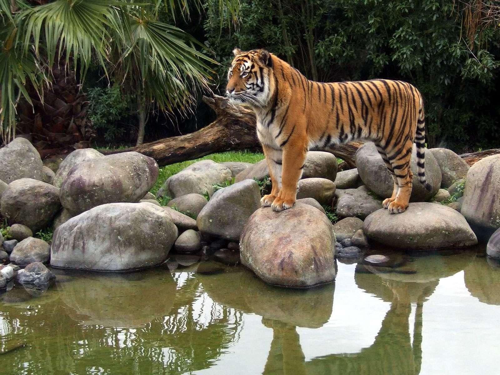 La chasse et l'extension de la présence humaine ont poussé le tigre sauvage au bord de l'extinction. Des contreforts de l'Himalaya aux régions isolées du nord-est en passant par les plaines du nord du pays, l'Inde compte une cinquantaine de réserves destinées à préserver l'animal. © fotolia