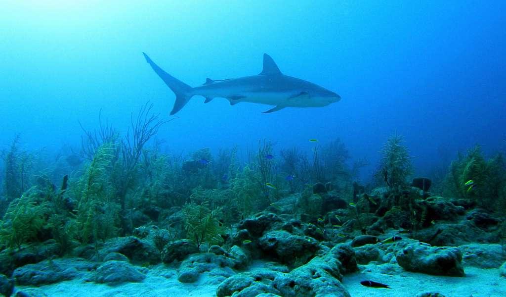 La plupart des espèces de requins sont sédentaires et mènent une vie benthique, notamment au sein des récifs coralliens où la nourriture est présente en abondance. © Vic DeLeon, Flickr, cc by nc nd 2.0