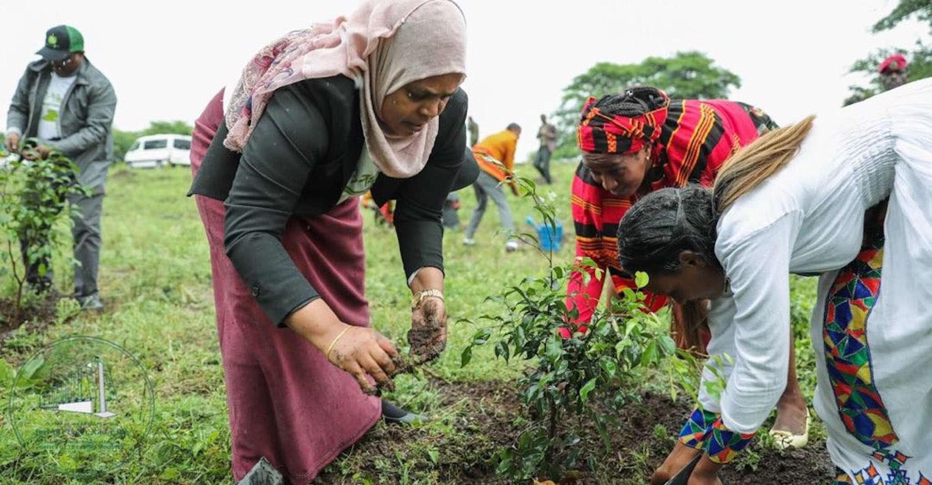 Ce lundi 29 juillet 2019, c'est toute la population de l'Éthiopie qui a planté des arbres par millions. © Office of the Prime Minister, Twitter