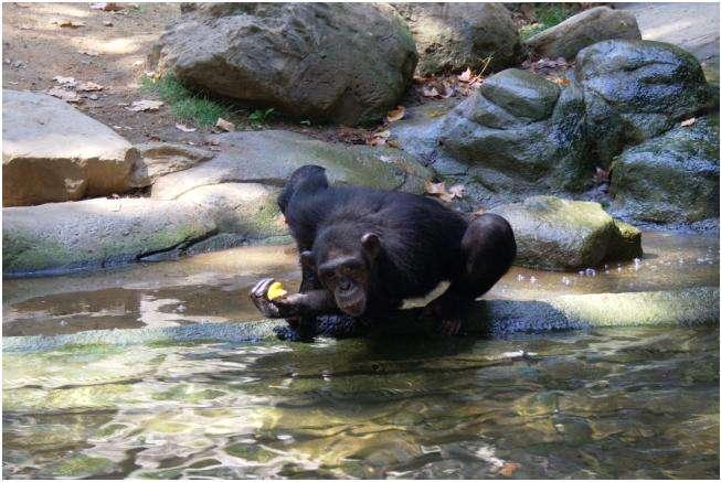 Il est arrivé que certains chimpanzés se noient dans le bassin qui entoure leur enclos. Au zoo d'Arnhem (Pays-Bas) par exemple, un chimpanzé mâle paniqué et redoutant d'être agressé par le dominant s'est jeté à l'eau et en est mort. Cette fois, l'histoire se termine bien, et Kijani et Mambala viennent de démontrer qu'un chimpanzé aussi, ça peut nager. © Raul Pons Lopez, fotolibre.org, cc by sa 2.5