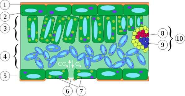Schéma d'une coupe transversale de feuille montrant ses différents constituants : (1) cuticule, (2) et (5) épiderme, (3) parenchyme palissadique, (4) parenchyme spongieux, (6) stomate, (7) cellules stomatiques, (8) xylème, (9) phloème, (10) tissu conducteur. © Nova, Wikipédia GNU