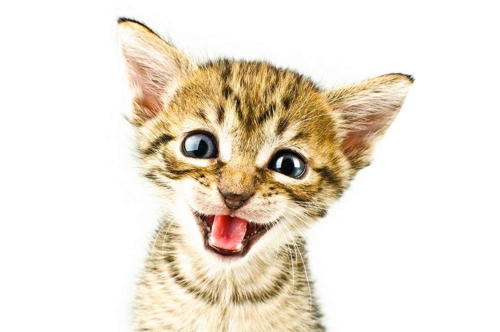 Ne vous fiez pas à leur mignonne petite tête. Les chats peuvent contenir le parasite responsable de la toxoplasmose, une infection souvent bénigne, mais qui peut être très dangereuse pour les fœtus et pour les personnes immunodéprimées. © Sergiu Bacioiu, Flickr, cc by nc 2.0