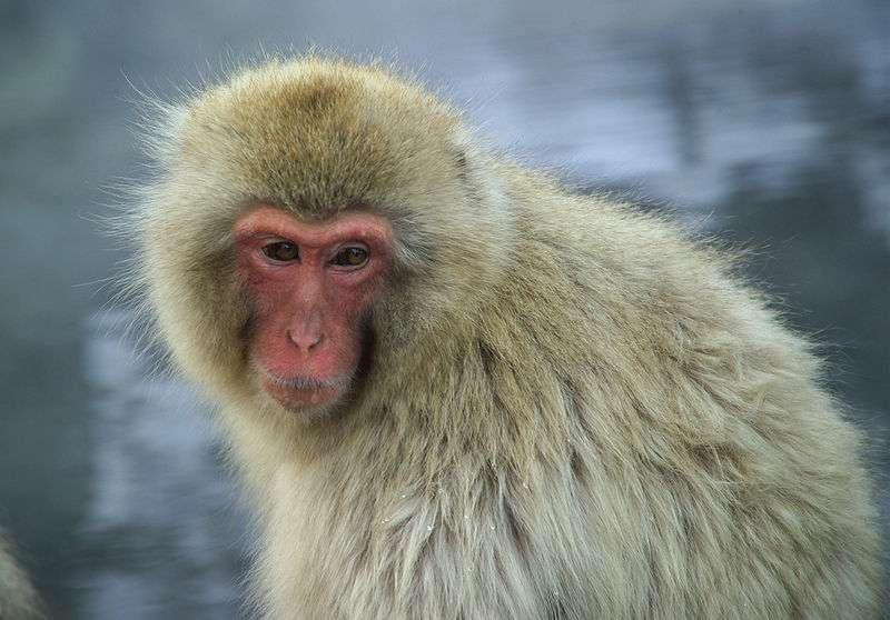 Photo d'un macaque japonais. © Fg2, domaine public