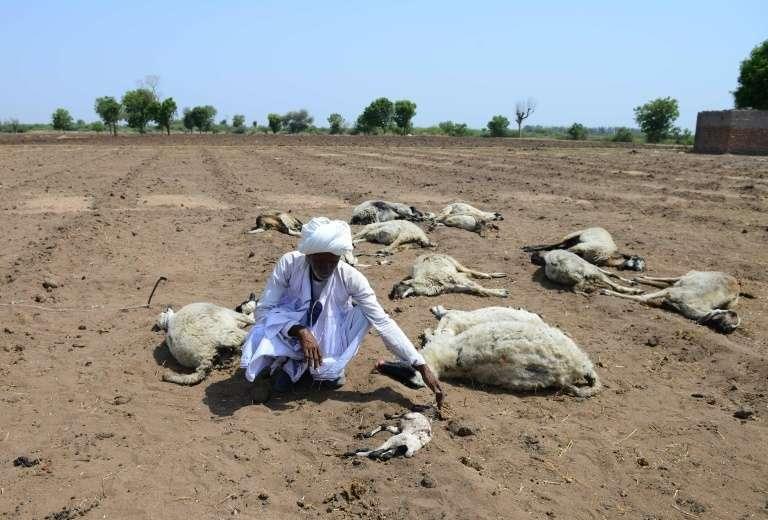 Les agriculteurs et éleveurs sont particulièrement touchés par la sécheresse et la vague de chaleur, comme ce berger agenouillé auprès de ses bêtes mortes, dans le village de Ranagadh, dans l'Etat du Gujarat. © Sam Panthaky - AFP/Archives