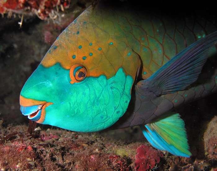 Les poissons-perroquets comme celui-ci se nourrissent des algues qui s'épanouissent sur les récifs coralliens. Leur chair est appréciée des Polynésiens mais elle est parfois contaminée par la ciguatoxine. Leur consommation risque donc d'entraîner la ciguatera. © Nick Hobgood, Fotopédia, cc by sa 2.0
