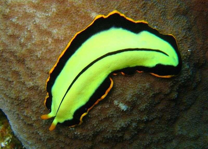 Le turbellarié Pseudoceros dimidiatus appartient au groupe des plathelminthes. Cette espèce se rencontre dans la zone indo-pacifique tropicale et dans la mer Rouge. Les individus peuvent mesurer jusqu'à 8 cm. © Richard Ling, Wikipédia, cc by sa 2.0
