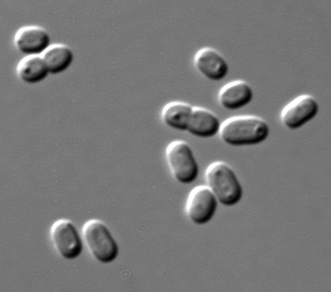 La cyanobactérie Synechococcus est un caméléon ! C'est l'un des organismes du phytoplancton qui fournit le plus d'oxygène à la planète : 20 % du total produit par le phytoplancton © Masur, Wikipédia, DP