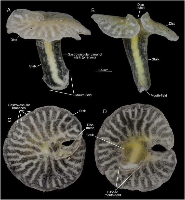 Les Dendrogramma ne présentent pas de traces de fixation aux fonds marins mais sont en même temps dépourvus de moyen de propulsion et leur disque paraît inflexible. Leur mode de vie reste donc inconnu des chercheurs. © Just et al., Plos One