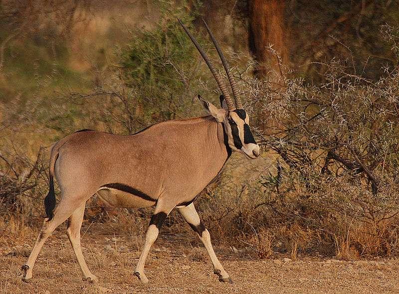 La majorité des populations d'oryx beïsas se reproduisent en dehors des zones protégées, ce qui constitue une menace pour sa survie. © Steve Garvie, Wikipédia, cc by sa 2.0