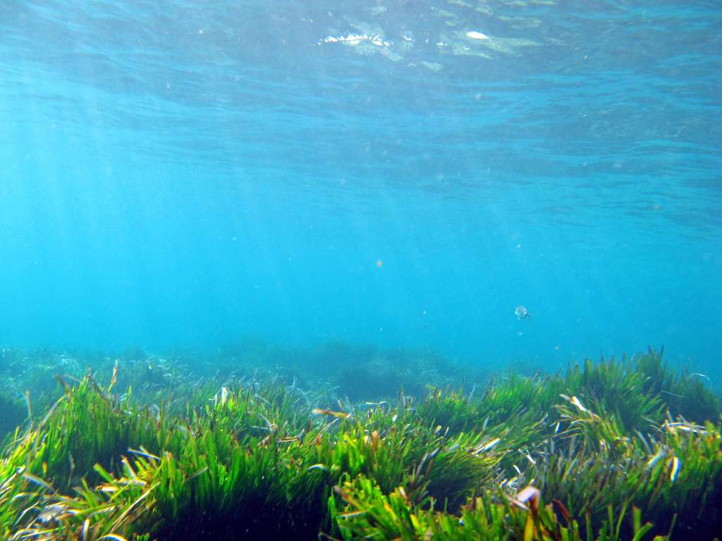 Les posidonies forment de véritables prairies sous la surface de l'eau. Alors que les algues se fixent grâce à des crampons, Posidonia oceanica utilise des racines qu'elle enfonce dans le sédiment, puisque c'est bel et bien une plante. © Ondablv, Flickr, CC by-nc-2.0