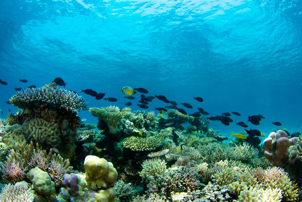 Le système récifal de Scott repose en bordure du plateau continental australien, sur un socle situé entre 400 m et 500 m de profondeur. Il se compose de trois récifs ressemblant à des atolls. © N. Thake
