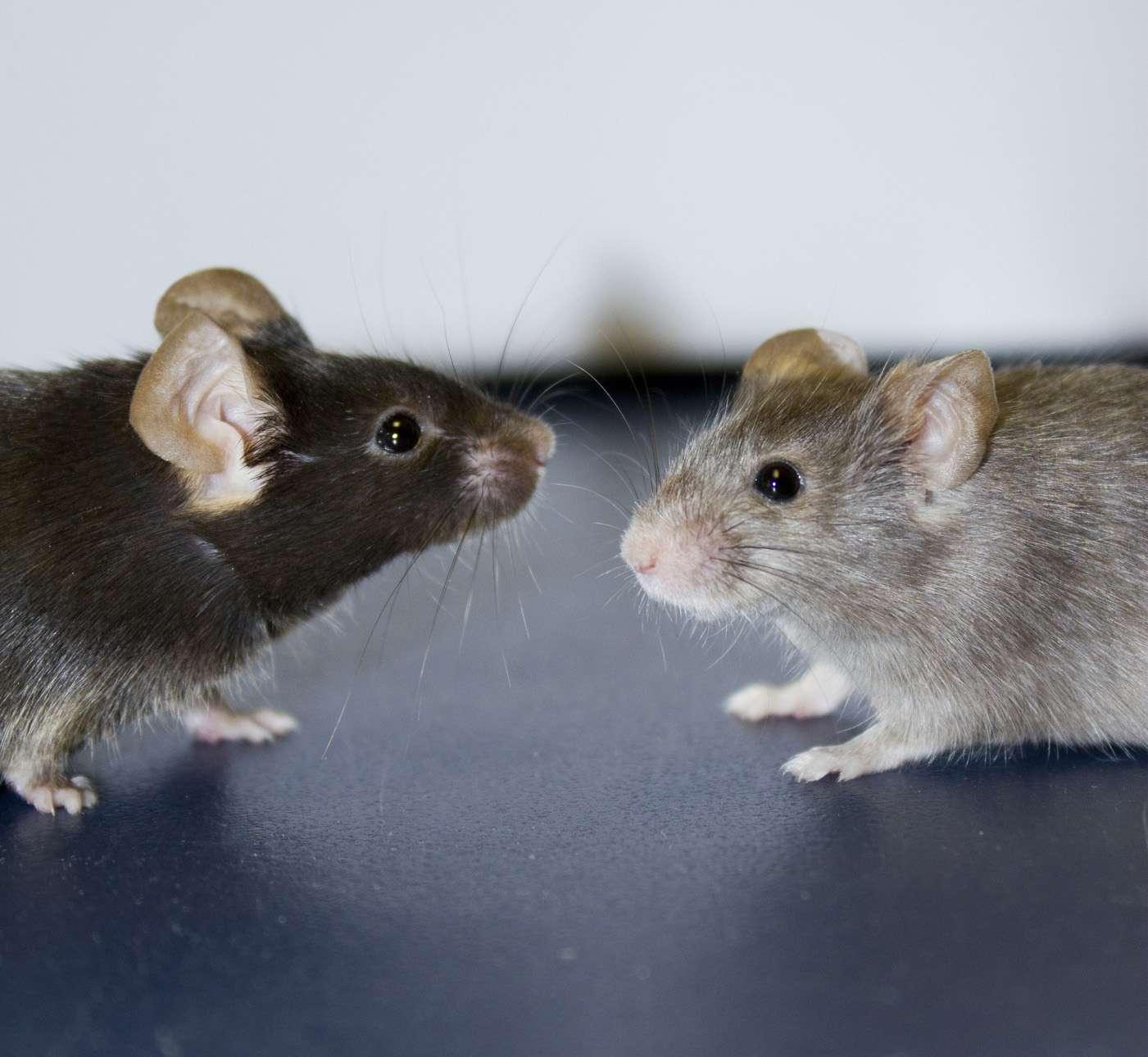 En éclaircissant le pelage de souris, les chercheurs parviennent à mieux saisir l'utilité des protéines B-Raf et C-Raf pour une meilleure compréhension du mélanome, un cancer de la peau responsable de la mort de 1.620 personnes en France en 2011. © A. Eychène et F. Bertrand, Institut Curie