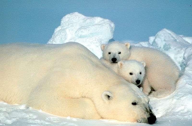 L'ours polaire est une des espèces animales menacées d'extinction. Crédits DR