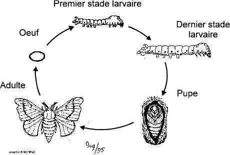 Cycle de vie d'organisme holométabole, ici un lépidoptère. L'œuf fixé à une feuille donne naissance à une larve qui va se nourrir de végétaux. Vers la fin du cycle de développement, elle s'enferme dans une pupe où elle va effectuer sa métamorphose. Durant ce stade, des organes apparaissent tandis que d'autres disparaissent ou se transforment. L'adulte, ou imago, est un organisme doté de deux paires d'ailes. © Université d'Ottawa