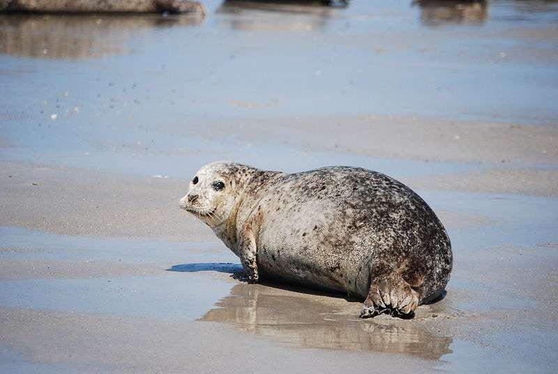 Photo d'un phoque commun. © Maximilian Narr, CCA-SA 3.0 Unported license