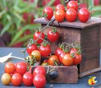 La tomate, reine des légumes-fruits, est riche en variétés et en propriétés bénéfiques pour la santé. © Site Internet Tomodori