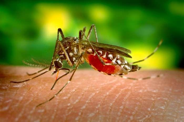 Le moustique Aedes aegypti est le vecteur du virus de la fièvre jaune. © DR