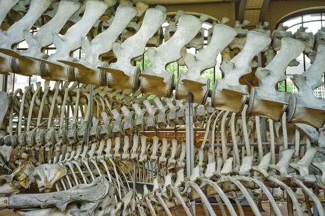 Les Vertébrés se reconnaissent... à leurs vertèbres. Cette chaîne osseuse, en position dorsale (qui fait partie de l'endosquelette) porte les côtes, le crâne et, chez les Vertébrés terrestres, les ceintures, sur lesquelles sont fixés les membres. © Alexandre Vialle / Flickr CC by-nc-sa 2.0