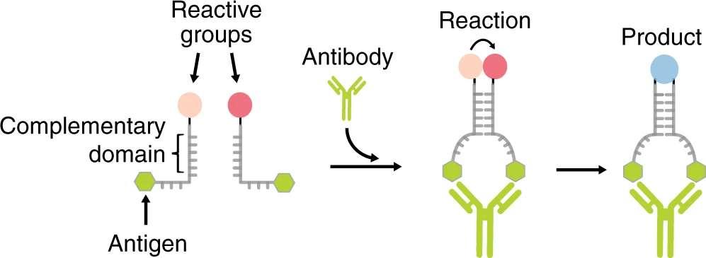 Deux oligonucléotides d'ADN complémentaires (en gris) sont conjugués chacun à une extrémité avec un groupe réactif (en rose) et, à l'autre extrémité, avec un antigène (en vert). À de faibles concentrations d'oligonucléotides, la formation de duplex n'est pas favorisée et la vitesse de réaction entre les deux groupes réactifs est négligeable. La liaison bivalente de l'anticorps spécifique aux deux oligonucléotides « rapproche » les oligonucléotides, ce qui augmente considérablement la vitesse de réaction entre les groupes réactifs. © Francesco Ricci et al., Nature Communications, 2020