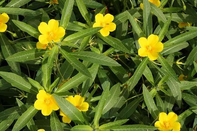 La jussie est une plante envahissante. © poil0do, Flickr CC by sa 2.0