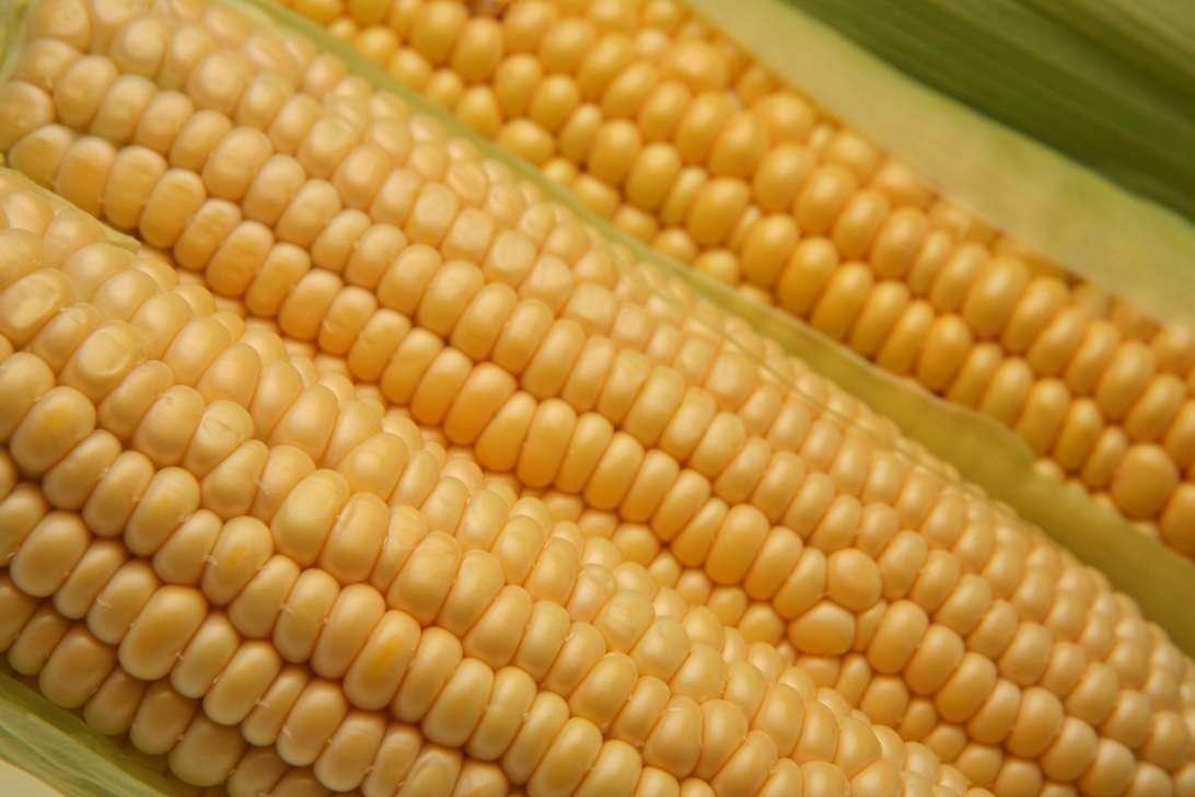 Le maïs OGM NK603 utilisé dans cette étude et développé par Monsanto est interdit en culture en Europe mais autorisé à l'importation. Aux États-Unis en revanche, on le trouve directement dans les champs. © Maos, StockFreeImages.com
