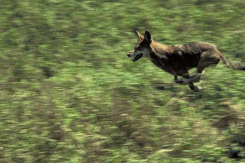 Photo d'un loup rouge en course © Curtis Carley U.S. Fisch and Wildlife service - public domain