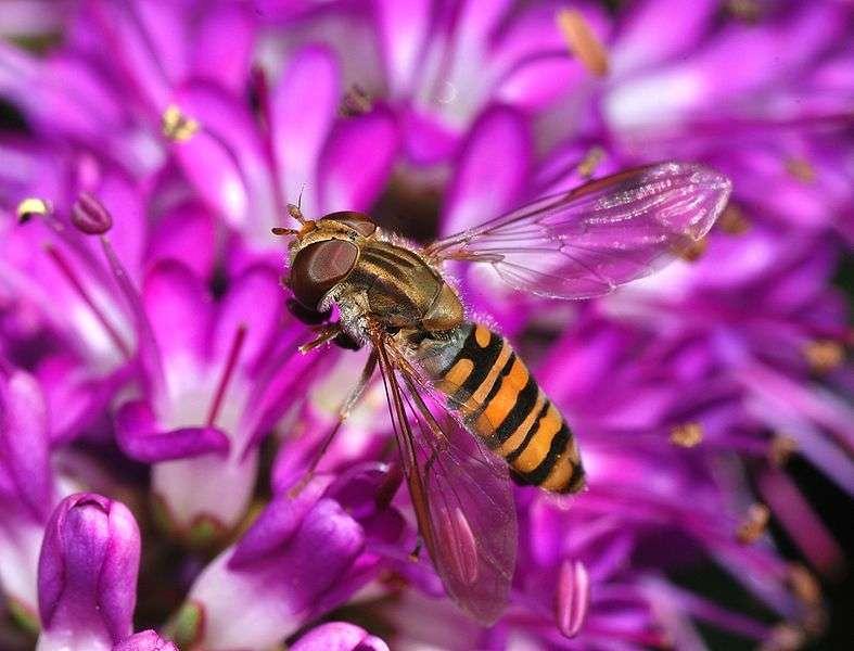 Les syrphes ont une technique de vol remarquable. © Alcesgaspar, Wikipédia, cc by sa 3.0