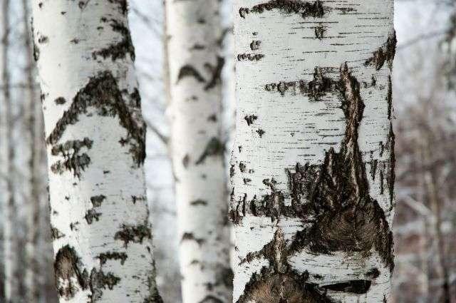 Les arbres d'Utrecht, aux Pays-Bas, retrouvent une deuxième jeunesse. Ils sont recyclés pour être transformés en tables. L'étude de l'âge des arbres se fait à partir des cernes de croissance, elle est appelée la dendrochronologie. © Relaxnews