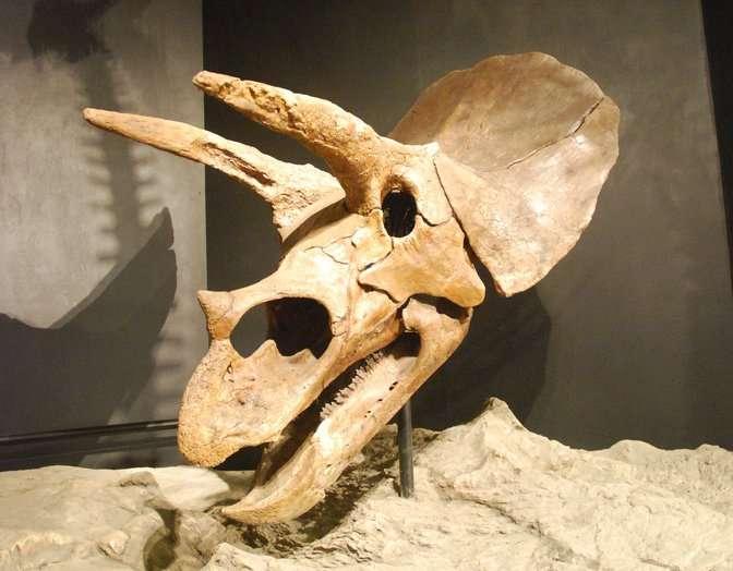 Une corne de triceratops a été découverte dans le Nevada prouvant que cette espèce était bien présente juste avant l'impact avec une météorite il y a 65 millions d'années. © jjsala, Flickr, CC by-sa 2.0