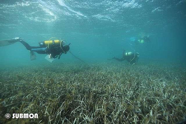 Posidonia oceanica est endémique à la Méditerranée. Les herbiers s'observent principalement entre la surface et 30 à 40 m de profondeur. Les feuilles peuvent mesurer 80 cm à 1 m de long, pour une largeur de 1 cm. © Subman, Flickr, CC by-nc-sa 2.0