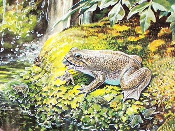 Les grenouilles plates à incubation gastrique Rheobatrachus silus mesuraient environ 5 cm de long. Leurs jeunes, quant à eux, pouvaient atteindre 1,2 cm au moment où ils quittaient l'estomac de leur mère. © Peter Schouten, projet Lazarus