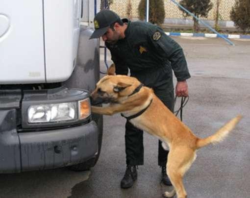 Après la recherche de drogue, les chiens vont peut-être s'adonner à la détection de maladies. Crédits DR